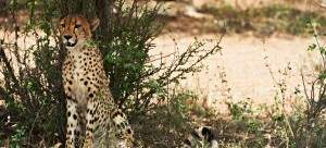 cheetah at Singita Lebombo on a South Africa honeymoon