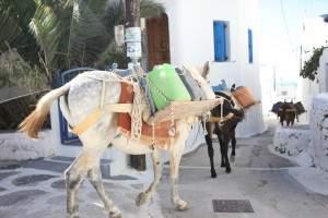 Donkeys in Chora
