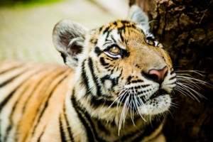 Tiger preserve on a Thailand honeymoon